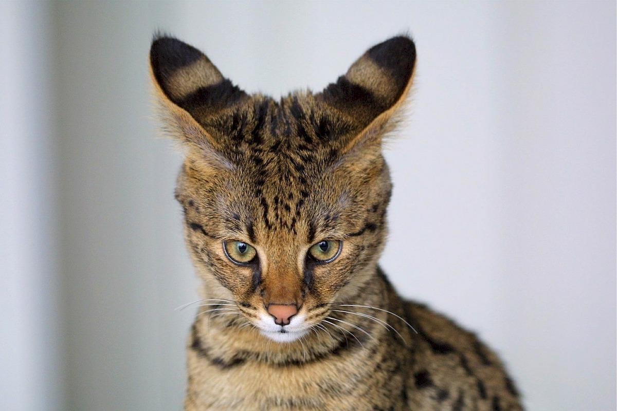 Neue Trend Tiere So Gefahrlich Sind Savannah Katzen Als Haustiere