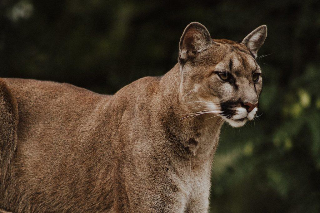 USA: Frau schlägt einen Puma, um ihren Hund zu retten