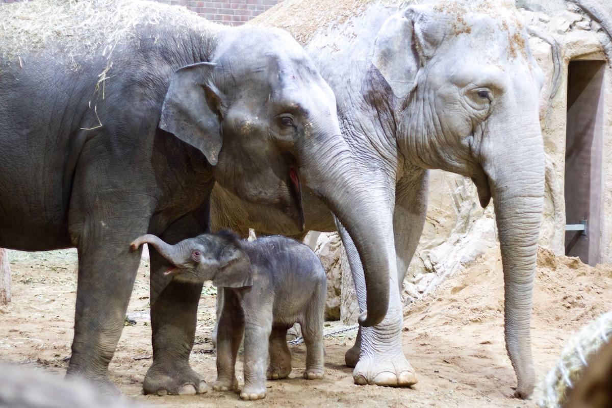 Elefant Vergewaltigt Nashorn