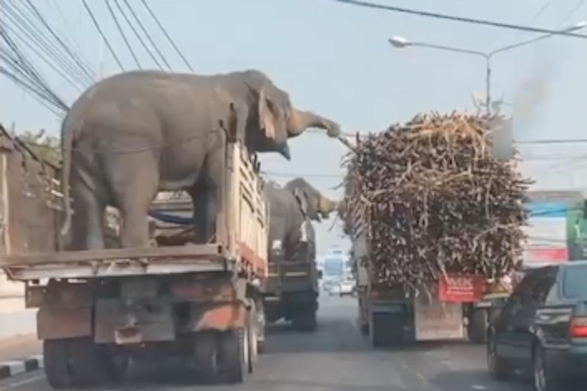 Freche Picknicker im Stau: Elefanten klauen Zuckerrohr von LKW