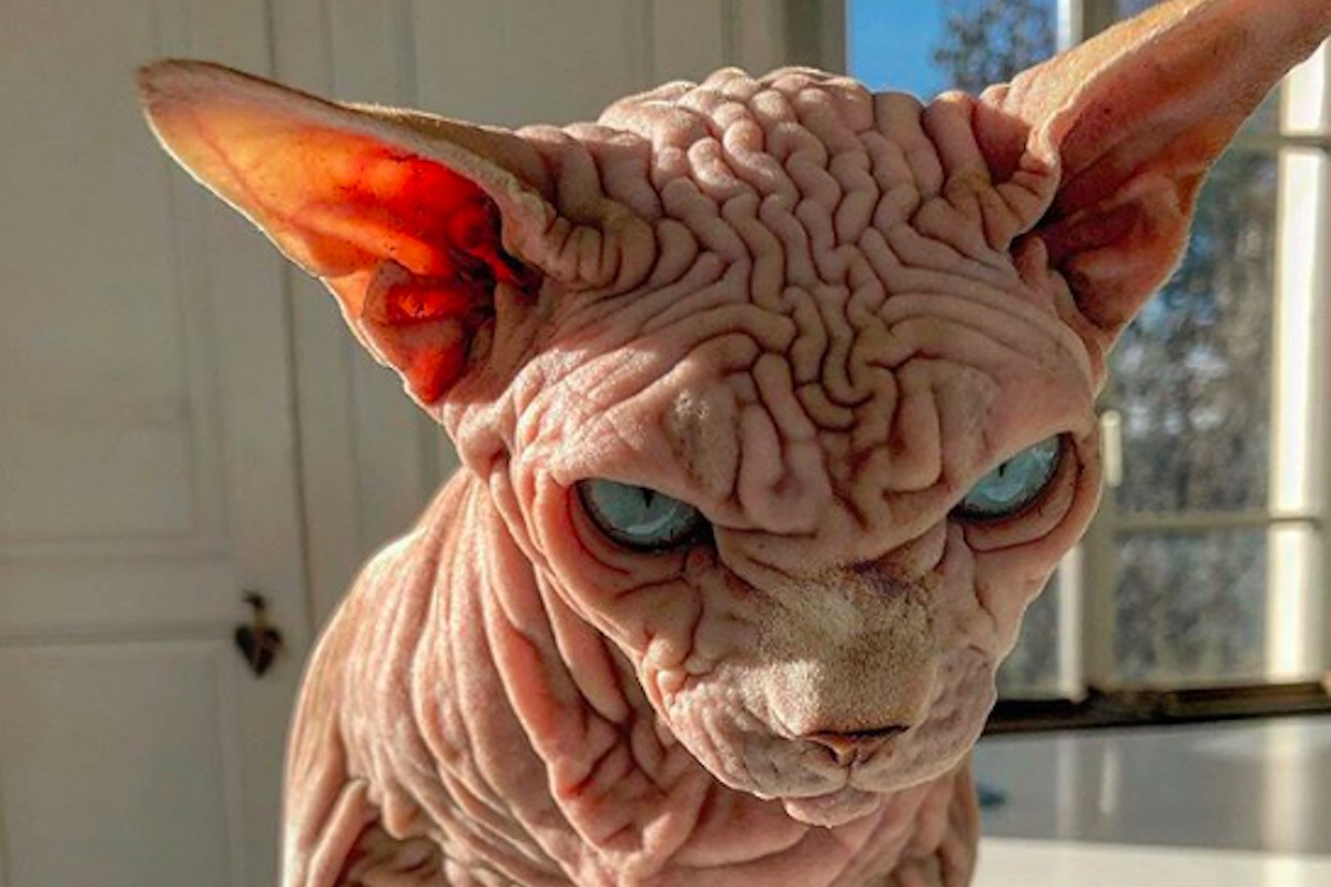 Keine Angst, diese gruselige Nacktkatze sieht nur böse aus