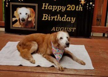 Eine wirklich alte Dame: Golden Retriever feiert 20. Geburtstag