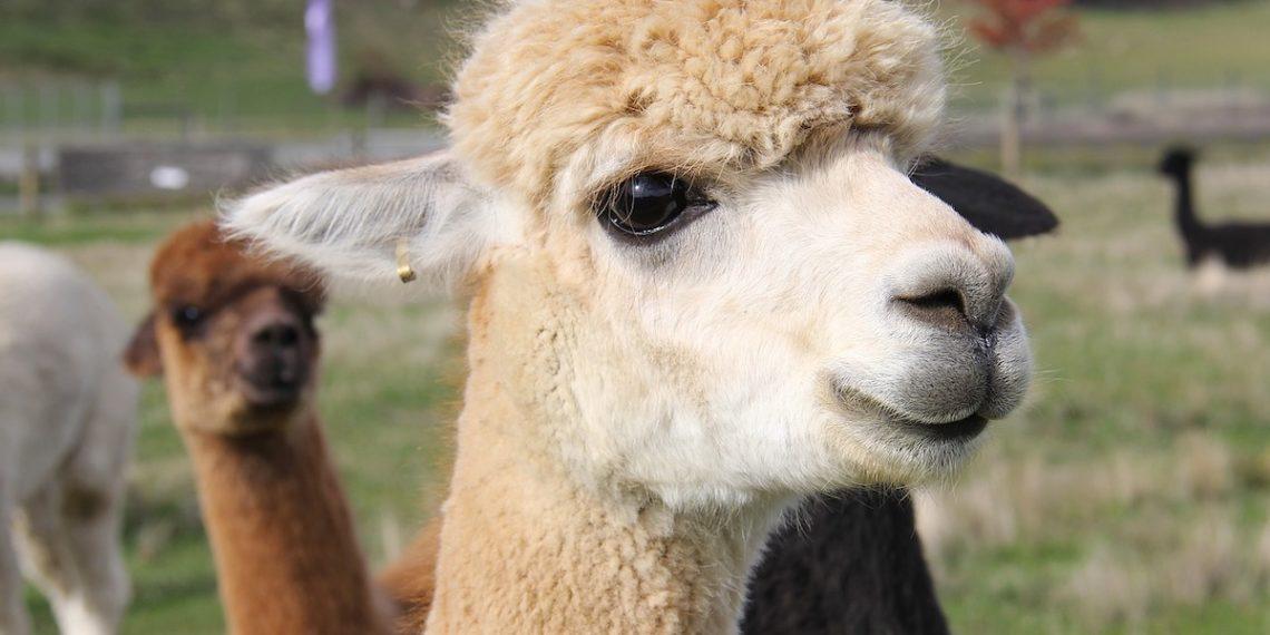 Alpaka Wolle Tierquälerei