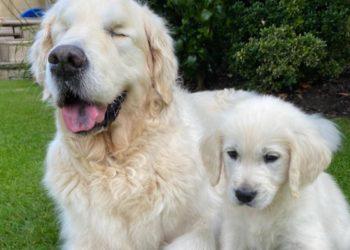 Golden Retriever erblindet – jetzt hilft ihm ein Welpe durchs Leben