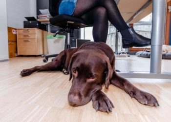 Hund im Büro: An diese Gefahrenquellen denkt niemand