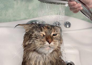 Warum sind (die meisten) Katzen wasserscheu?
