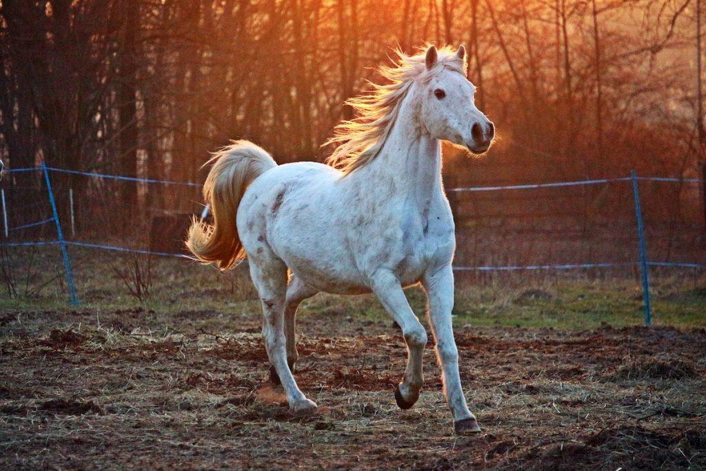 A white horse runs in a pasture.