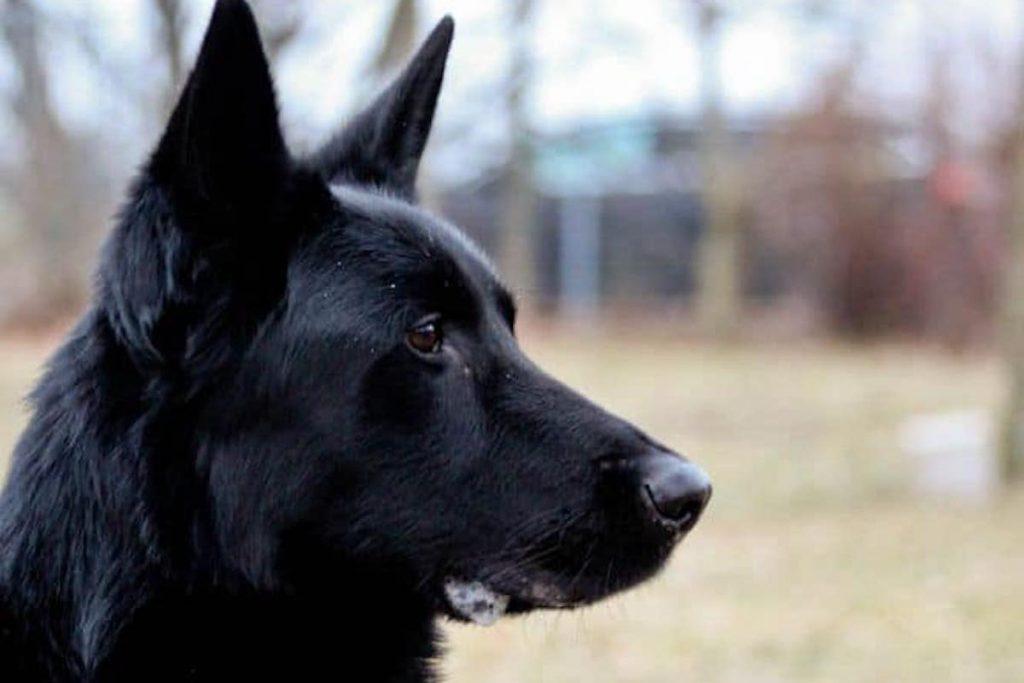 Schäferhund Ben.